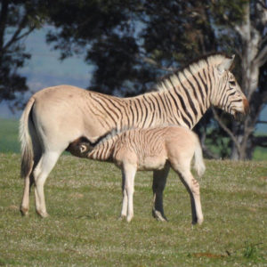 Quagga at Elandsberg Nature Reserve