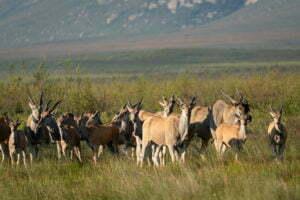 Eland at Elandsberg Nature Reserve